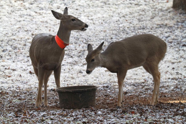 Daisy and Spirit having a little deer chow on an icy morning!