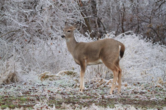 Spirit in front of the now frozen grasses she often hid herself in during spring and summer, as a speckled fawn.