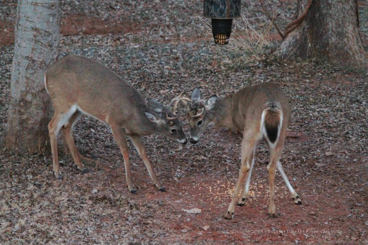 Two Bucks Sparring