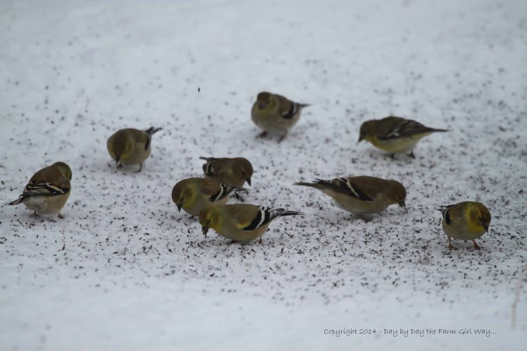 Goldfinches and Pine Siskins are common winter birds in Oklahoma.