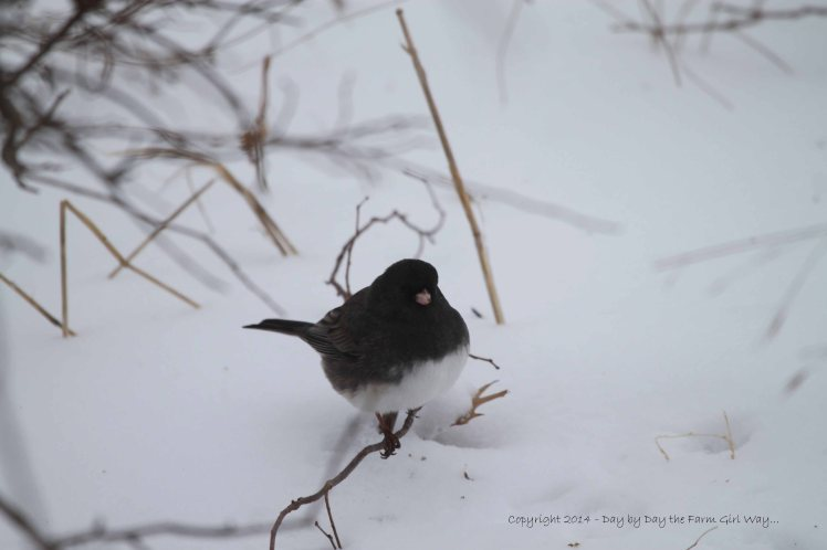 The Dark-eyed Junco preferred foraging on the ground rather than visiting the feeders.