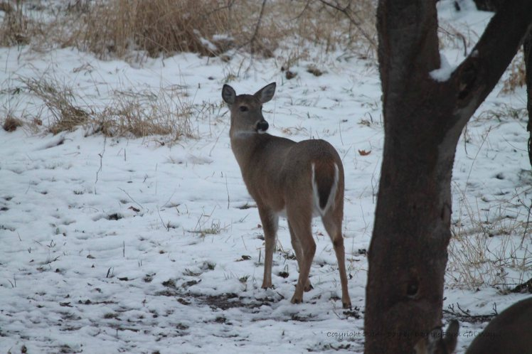 This doe seemed more dominant than the others her age. She soon moves in on Daisy at the corn feeder!