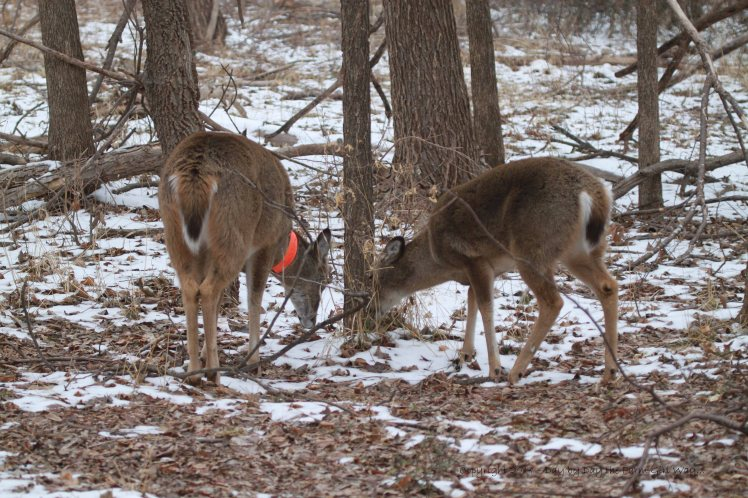 Daisy and Spirit graze on weeds beneath the snow, dead leaves and on various woodland browse. During the winter, deer reduce food intake (regardless of availability), relying on fat reserves for as much as 40% of daily nutritional needs.