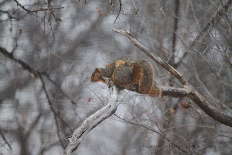 Squirrels Copulating