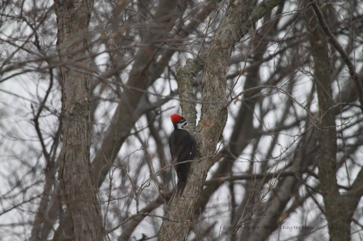 Female pileated woodpecker looking for insects on a hackberry tree.