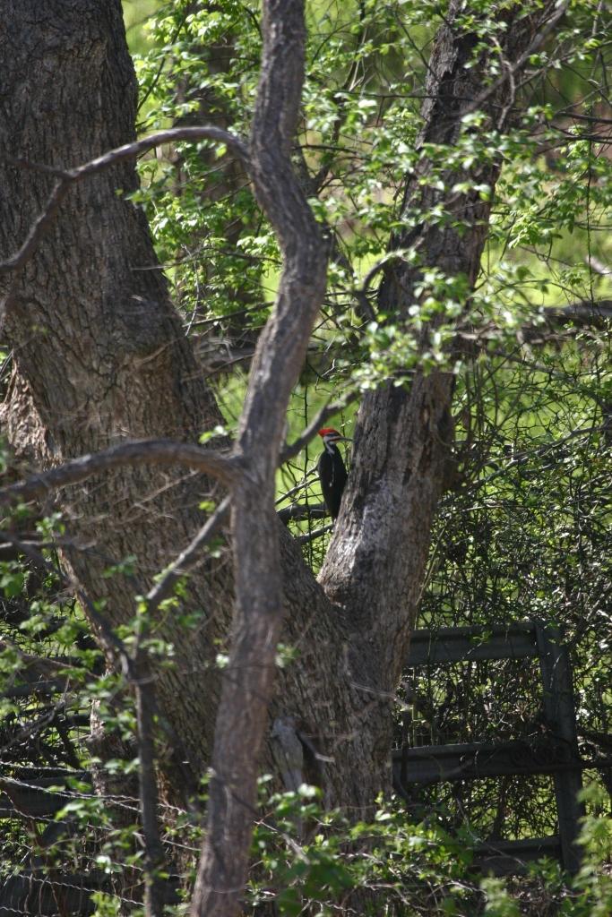 FD captured this image of a male pileated woodpecker in the canyon back in 2009.