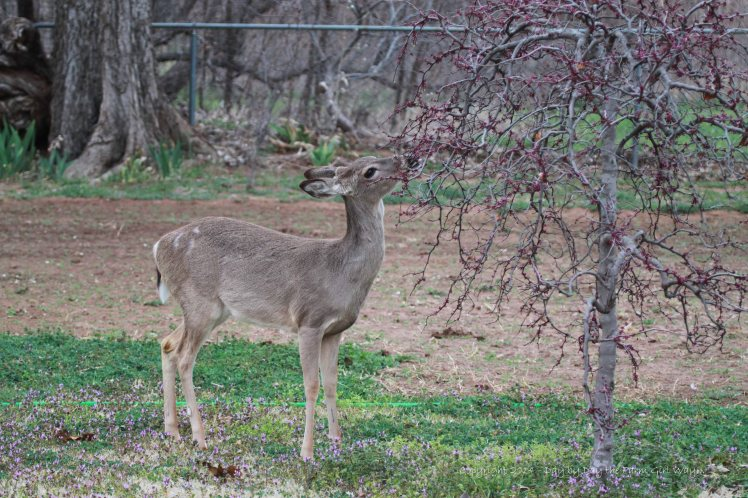I did not know deer like nibbling Redbud tree blossoms. (Sigh)