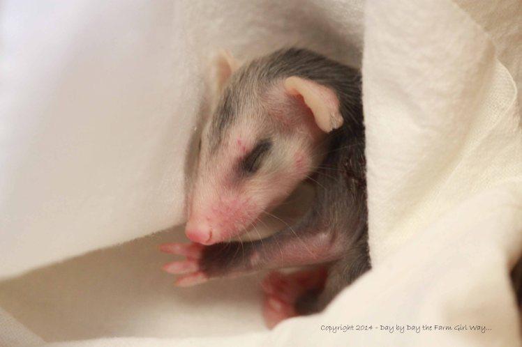 Baby Opossum Sleeping_4632