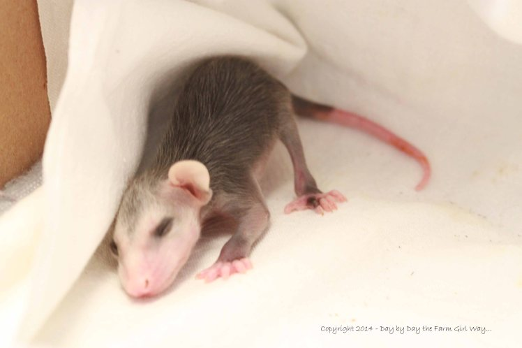 Baby Opossum_4634