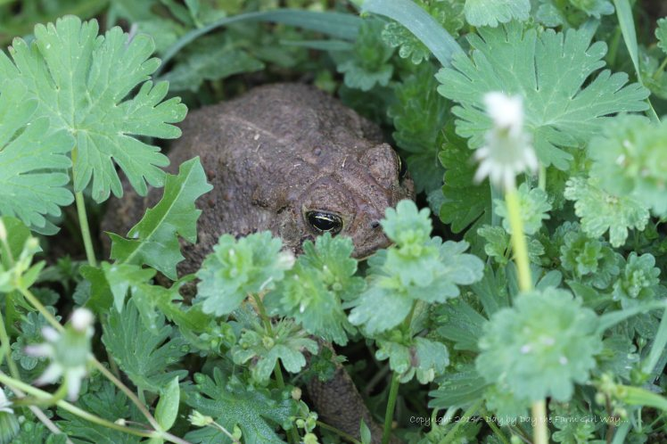 Mr. Toad did not budge from his shady spot, so I gave him a nudge.