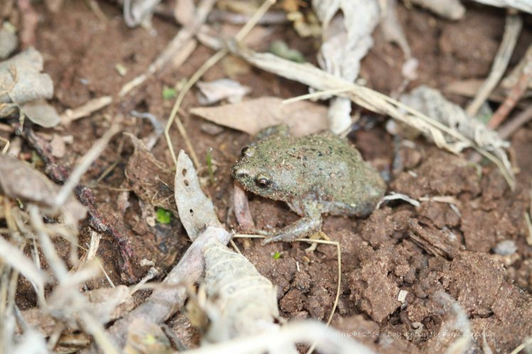 The frog had managed to settle in a small indentation covered by leaves (I uncovered him in my search).