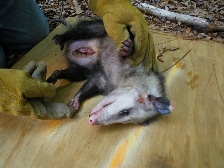 I was curious about the female opossum's pouch and found this photo online. The pouch contains around 11 nipples that the tiny babies attach to, where they spend many weeks growing. Photo courtesy of http://summerbioresearch.blogspot.com//2010_08_01_archive.html