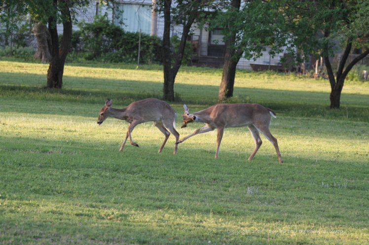 Scarlet's buck goes after his sister. What a comical shot!