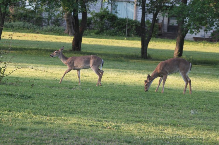 Scarlet's doe and buck yearlings are often found grazing on weeds in our pasture.