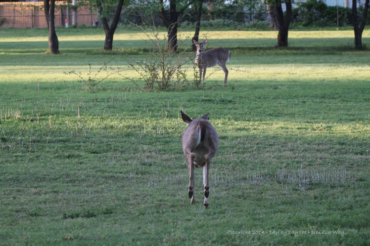 A robustly pregnant Daisy defends her territory by chasing off Scarlet's twins. This buck and doe are the same age as Spirit.