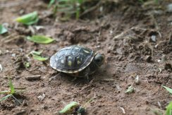 It took at least ten minutes for this little fella to relax enough to poke his head out of his shell!