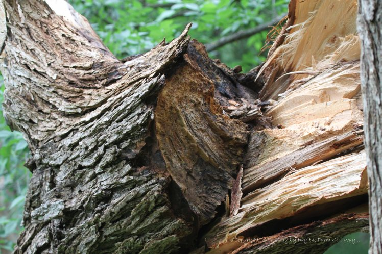 A large portion of the elm tree trunk was rotten.