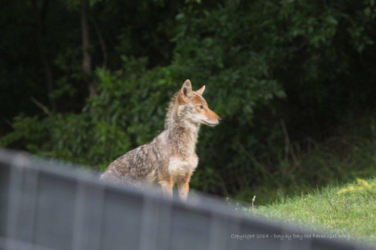 Coyote_4974