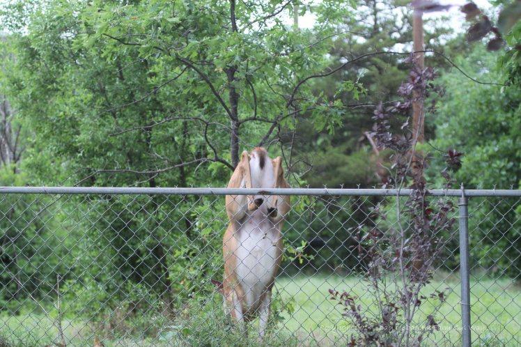 Daisy Clears Fence_5035