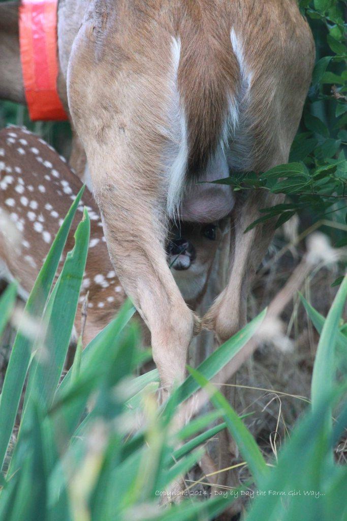 Peeking from underneath Daisy's udder!