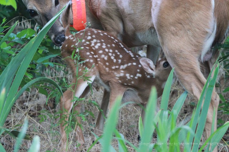 Like many mammals, the baby does not have the ability to relieve itself on its own for the first few weeks so the mother stimulates it by licking. The doe will lick the urine and feces from the fawn while she's nursing and ingest it. This keeps the fawn from being detected by predators. The mother can also detect what might be lacking in the fawns diet. Daisy will know what plants to eat to give Heidi the nutrition she needs.