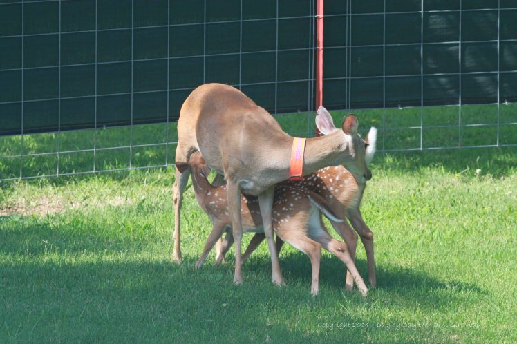 The twins will continue to nurse until they are about three months old. Heidi stomps her front legs as she nurses. Both twins head bang Daisy's udder to encourage more milk. Poor Daisy!