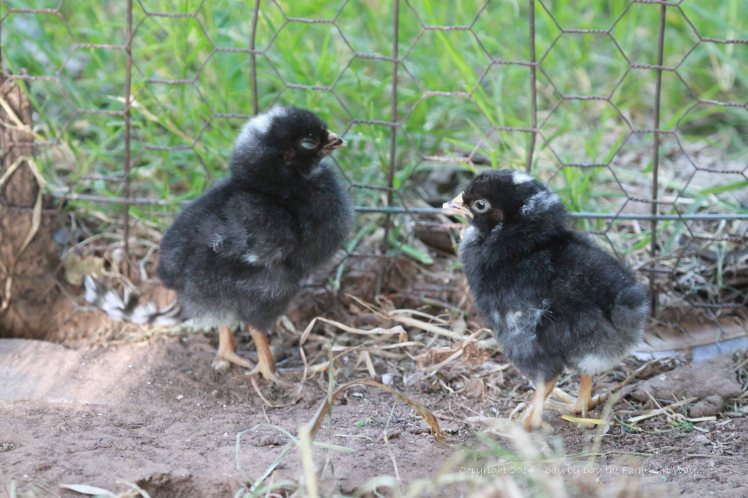 These two Barred Rock chicks were the first to break through their shells. Most of our chicken population is the Barred Rock breed.