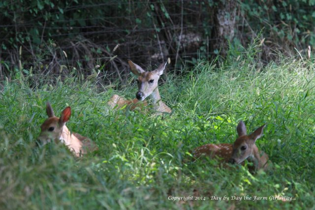 Laying in the deer plot FD planted for the deer this spring, Spirit looks after her siblings while Daisy is off in the nearby pecan orchard.