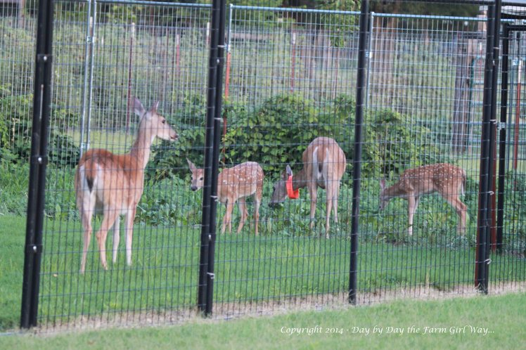 "Daisy loves to go to her old deer pen most evenings. We still have a nice stand of clover, lambsquarter, spurge, chickory and a few other ""weeds"" that the deer love to munch on!"