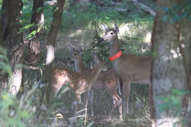 The twins are really growing! Daisy is still an always-alert mama!