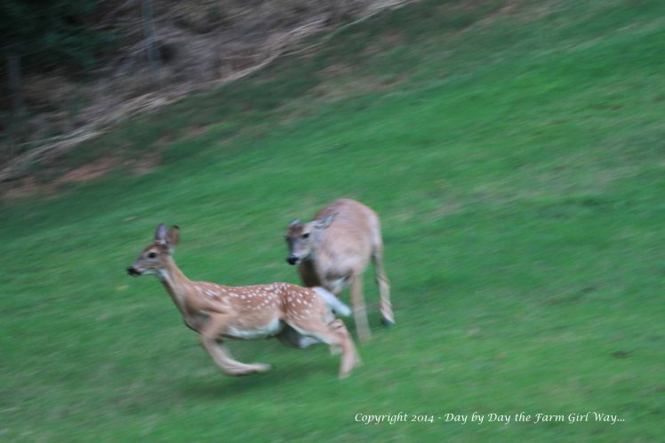 """Spirit does not run her mother, Daisy, off, but she sure goes into """"protection"""" mode when anyone is in the vicinity of the nursery area where Spirit has her baby hidden. This happens to be Heidi who is taking a good hoofing!"""