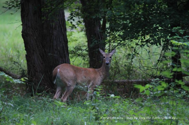 Spirit carefully watches before approaching the water and feed area.