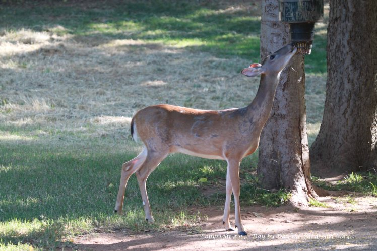 Once she feels it is safe, she hurriedly drinks water and eats corn and deer chow. Soon she will return to her baby hidden in the woods.