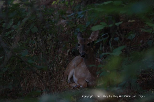 Spirit chews her cud while she rests in the cool shade.