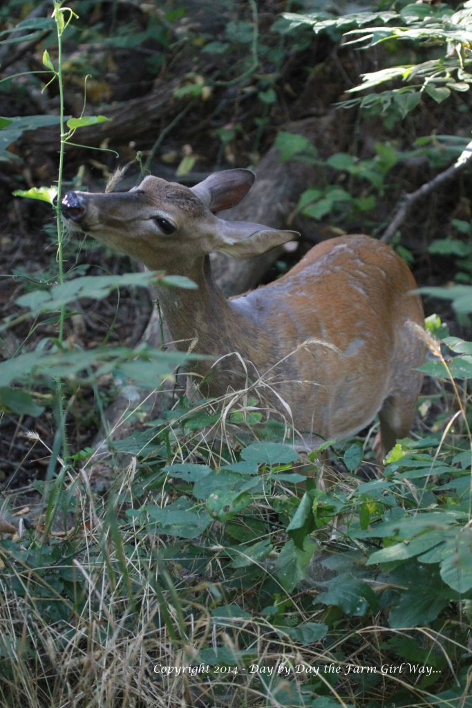Spirit, like all deer, loves to nibble cat brier. She is an eating machine while she's nursing!