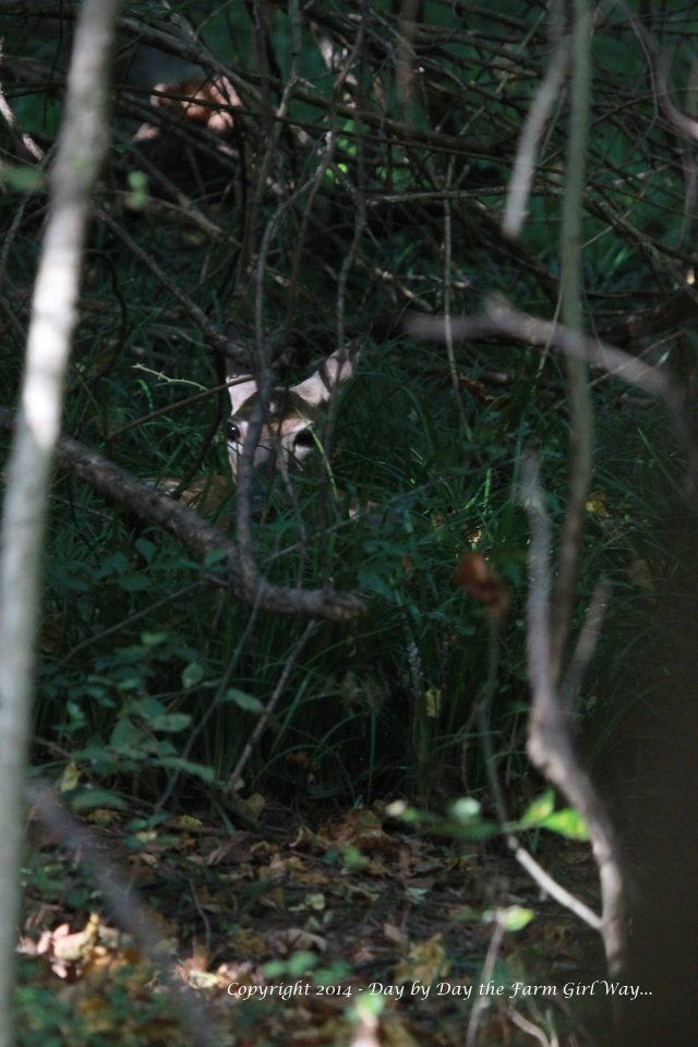 Spirit, nearly hidden in the lush liriope grass, watches me from a distance.