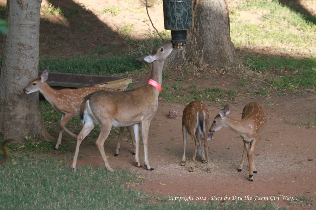 Daisy occasionally babysits while Dancer and Heidi make a new friend!