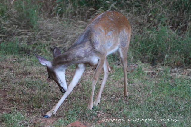 Sometimes Spirit bites at the horse flies. FD once saw her get one with her mouth and eat it!