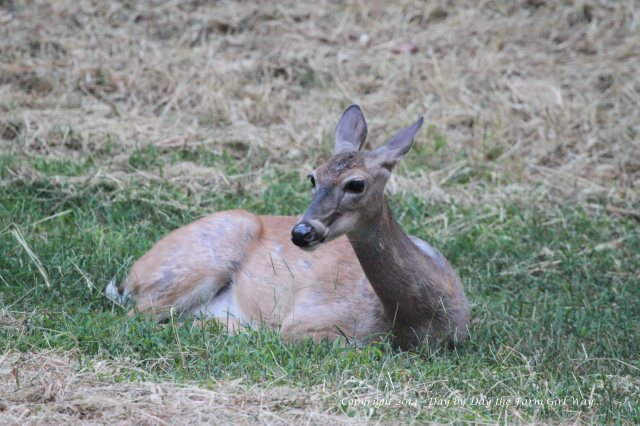 Spirit often just lays down to escape the biting horse flies.