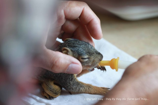 All I had to work with at first was a kitten nipple from the local vet. Punkin dribbled more formula than he took in.