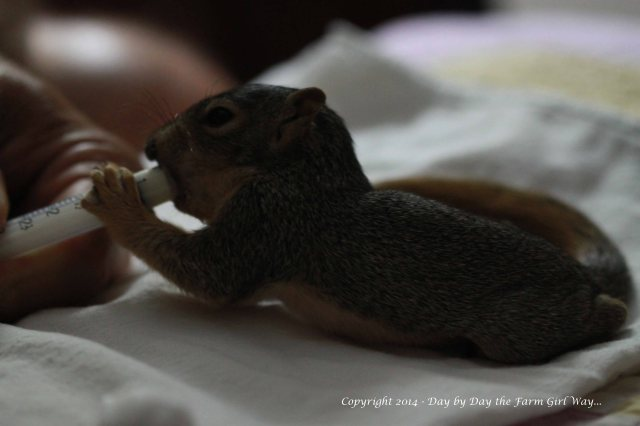 Punkin actually did a little better with no nipple on the syringe. Finally, the special squirrel nipples arrived in the mail which made feeding better for him and me!