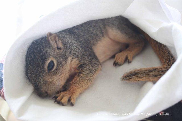 Punkin loves to curl up on FD's chest to nap... but when he's in his little shoe box a nice soft tea towel makes a great cubby to hide in!