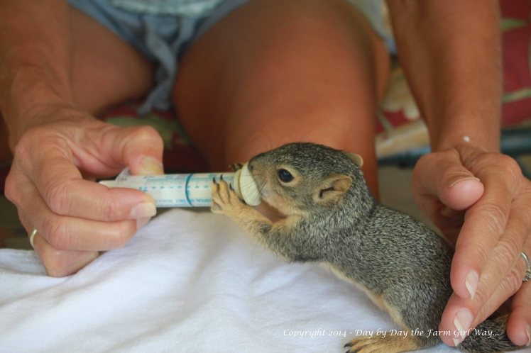 Now that we have appropriate squirrel nipples for the syringe, Punkin is going to town gobbling up his formula!