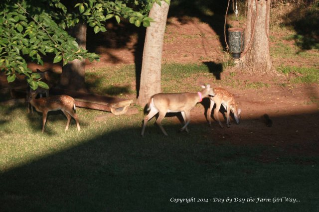 Daisy is about to send another doe's fawn off in the direction of its mother. Dancer and Heidi stay near the feeder.