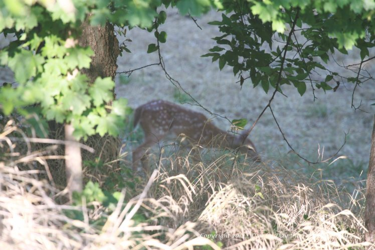 """Spirit's fawn, """"Willow"""" curiously approaches the group of deer near the feeder."""