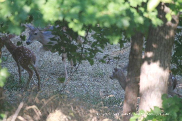 Spirit gets after Willow with gentle hoofing action to separate her baby from Daisy's fawn Heidi.