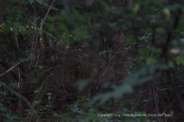 As Spirit quietly meanders  into the depth of the woods, little Willow looks back momentarily to check us out.