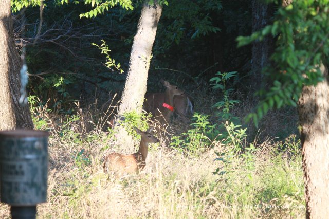 Daisy sends the big doe and her single fawn off to the pecan orchard, while rounding up Dancer and Heidi. She watches to make sure Spirit and her new fawn are heading away from them, down the buggy path.