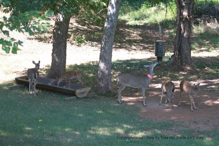 Daisy and her little herd stop to have a morning munch of corn and deer chow before heading out to eat greens.