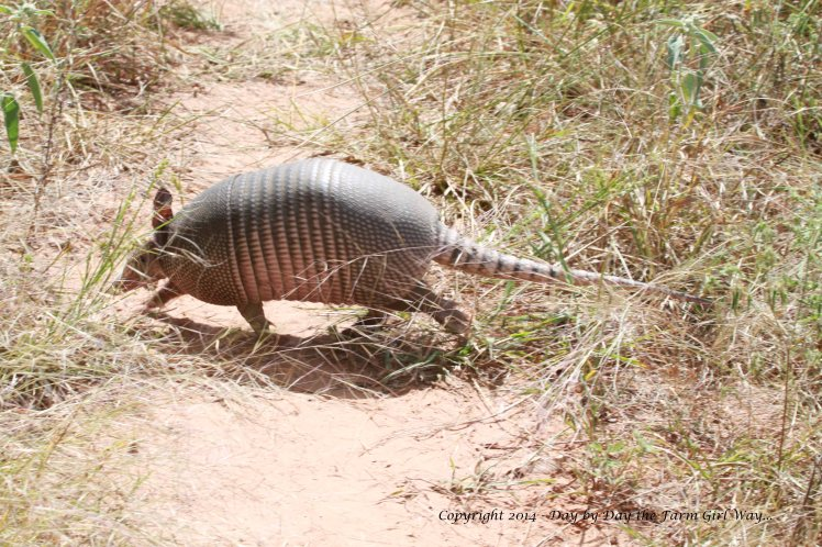 My first heart-stopping surprise was an armadillo in search of vittles! I supposed I gave it just as much of a scare as it gave me!